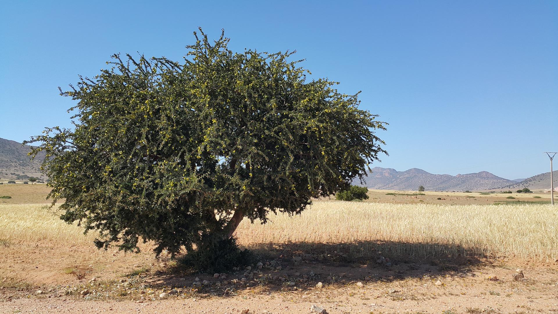 Arganöl – das flüssige Gold Marokkos